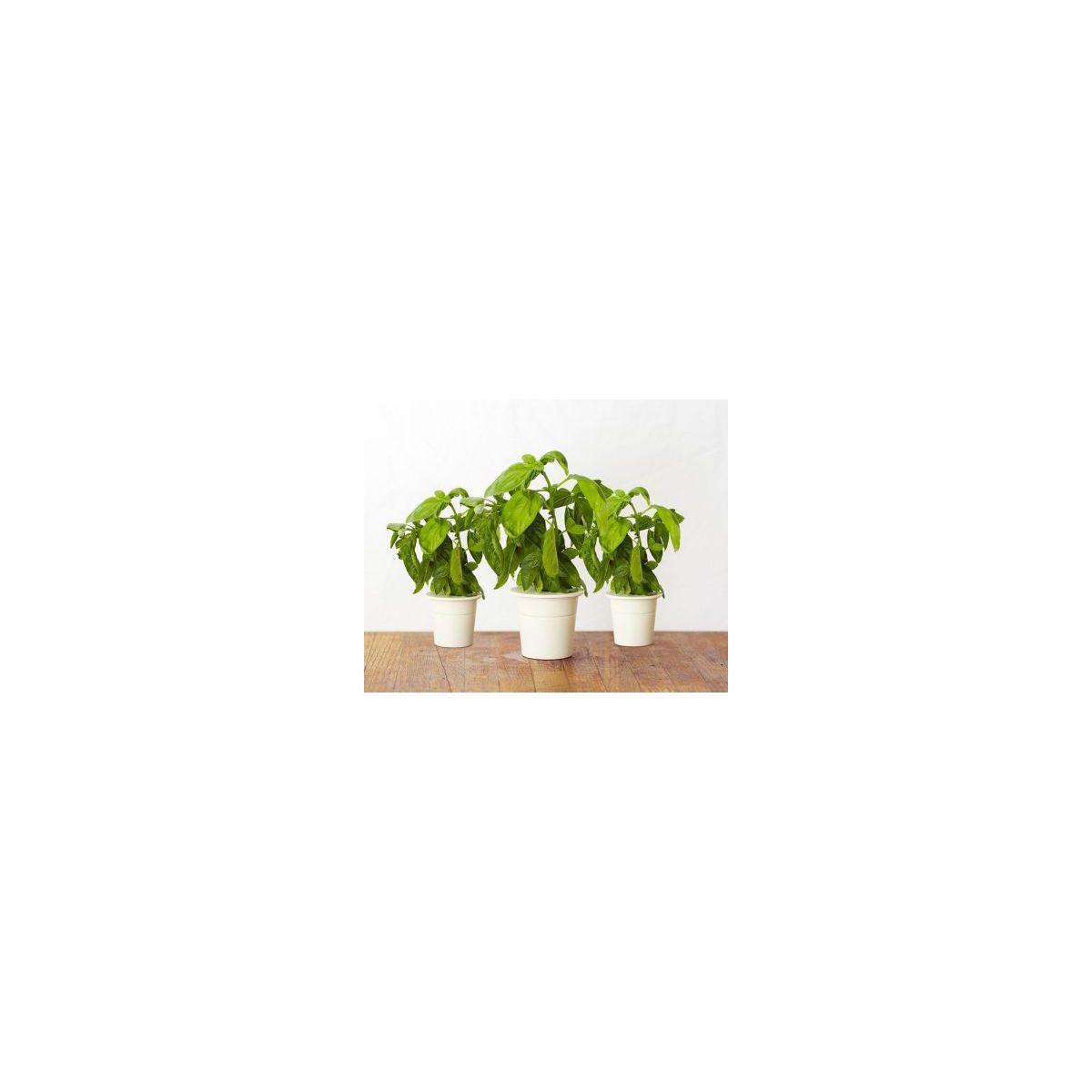 Recharge click and grow basilic (lot de 3) - 10% de remise imm�diate avec le code : priv10 (photo)