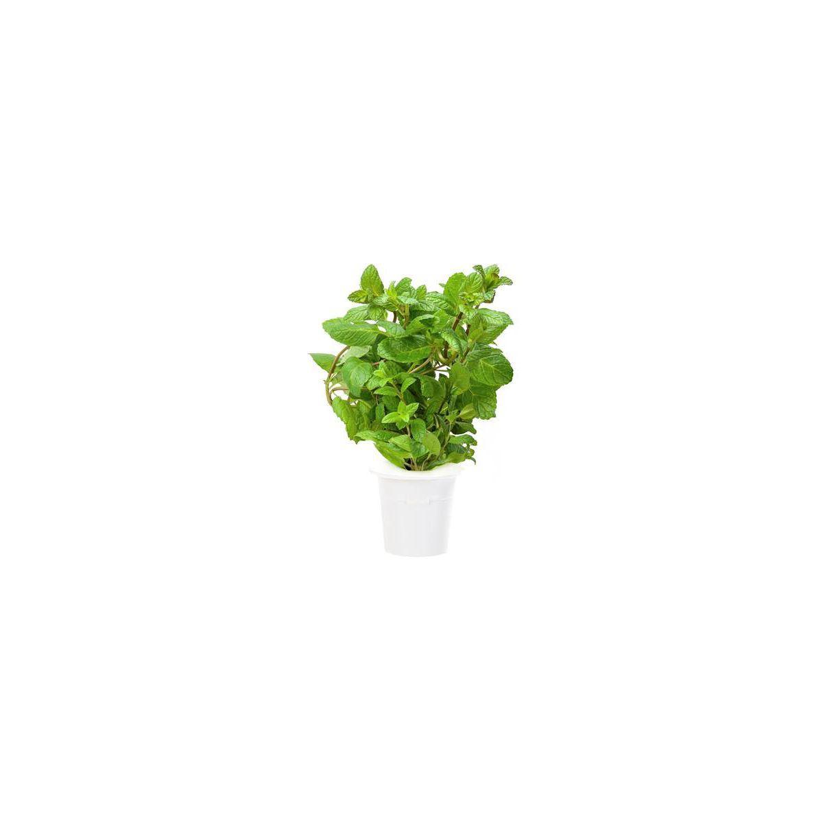 Recharge click and grow menthe poivr�e (lot de 3) - 10% de remise imm�diate avec le code : priv10 (photo)