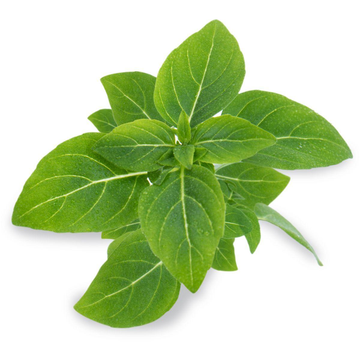 Recharge veritable basilic fin vert nain bio - 5% de remise imm�diate avec le code : priv5 (photo)