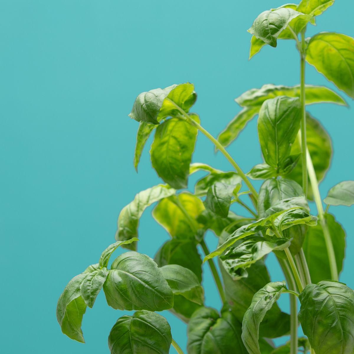 Recharge jardin int�rieur pret a pousser basilic grand vert (photo)