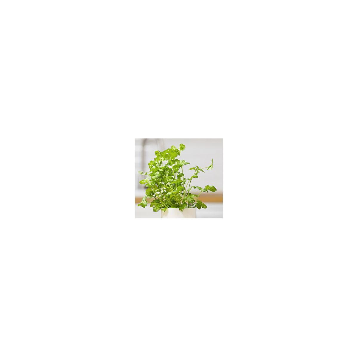Recharge jardin int�rieur pret a pousser coriandre (photo)