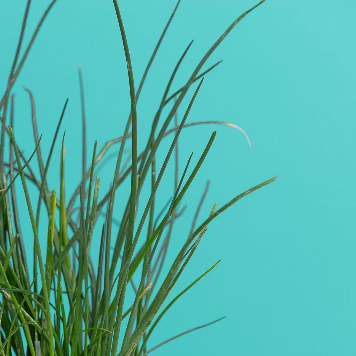 Recharge jardin int�rieur pret a pousser ciboulette (photo)