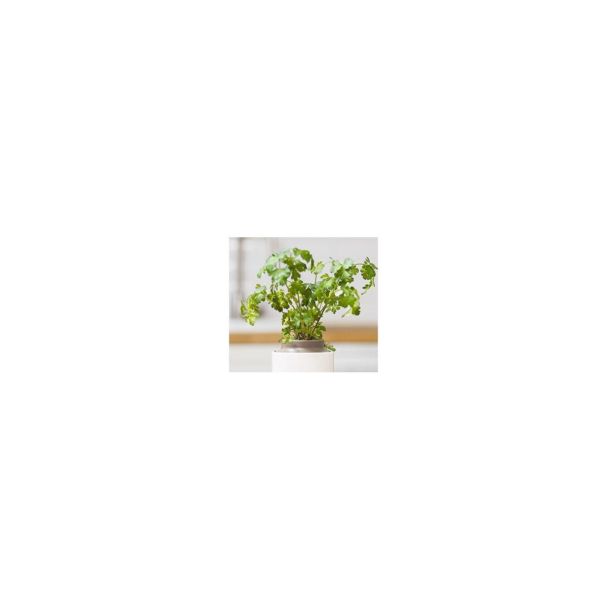 Recharge jardin int�rieur pret a pousser persil (photo)