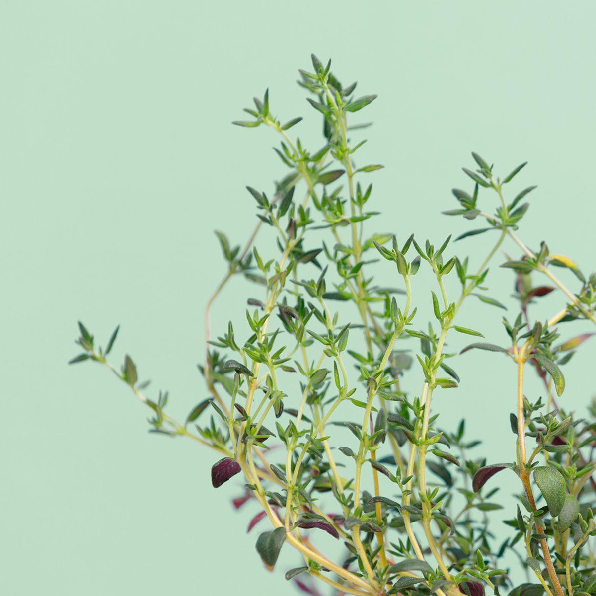 Recharge jardin int�rieur pret a pousser thym (photo)